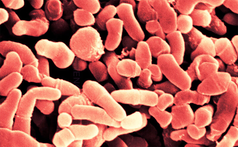 C. acnes bacteria